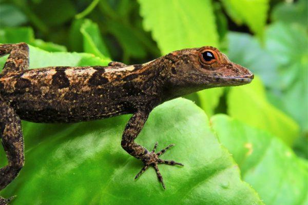 dominica lizard